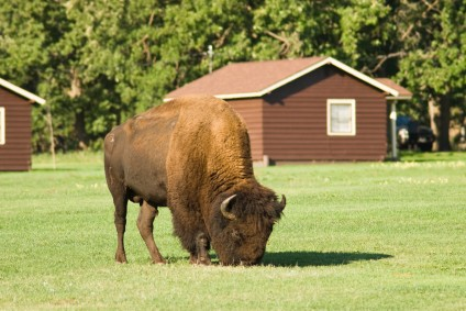 Custer State Park Buffalo in Camp